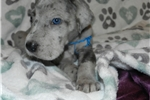 AKC Blue Merle Great Dane  | Puppy at 6 weeks of age for sale