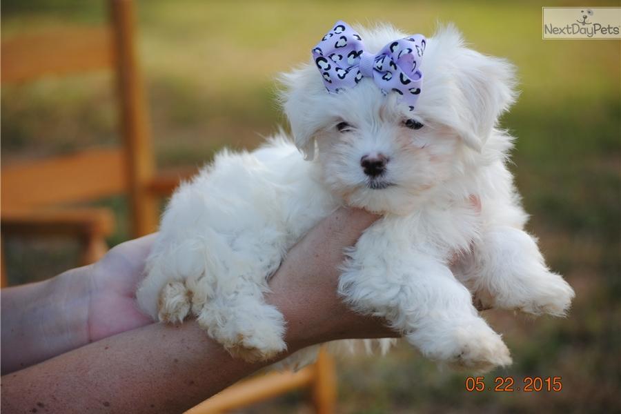 Maltese puppy for sale near Charlotte, North Carolina | 75eb4426-b691