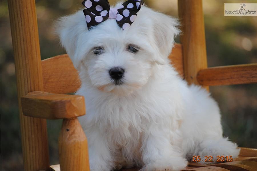 Maltese puppy for sale near Charlotte, North Carolina | 297e64c7-29a1