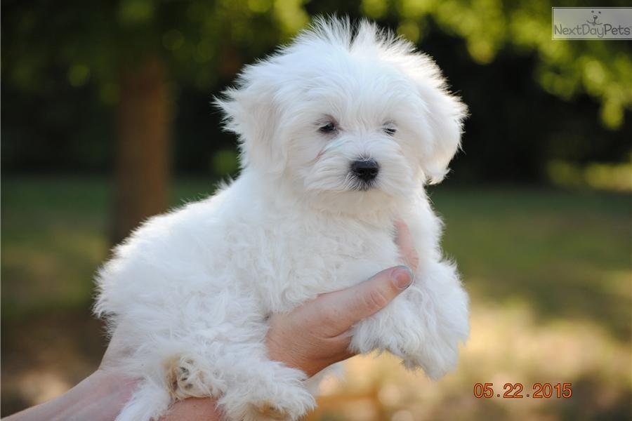 Maltese puppy for sale near Charlotte, North Carolina | fbeb6ee9-28c1