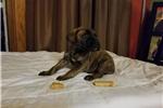 Picture of AKC brindle Bullmastiff puppies