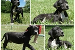 Picture of AKC Great Dane puppies in West Virginia