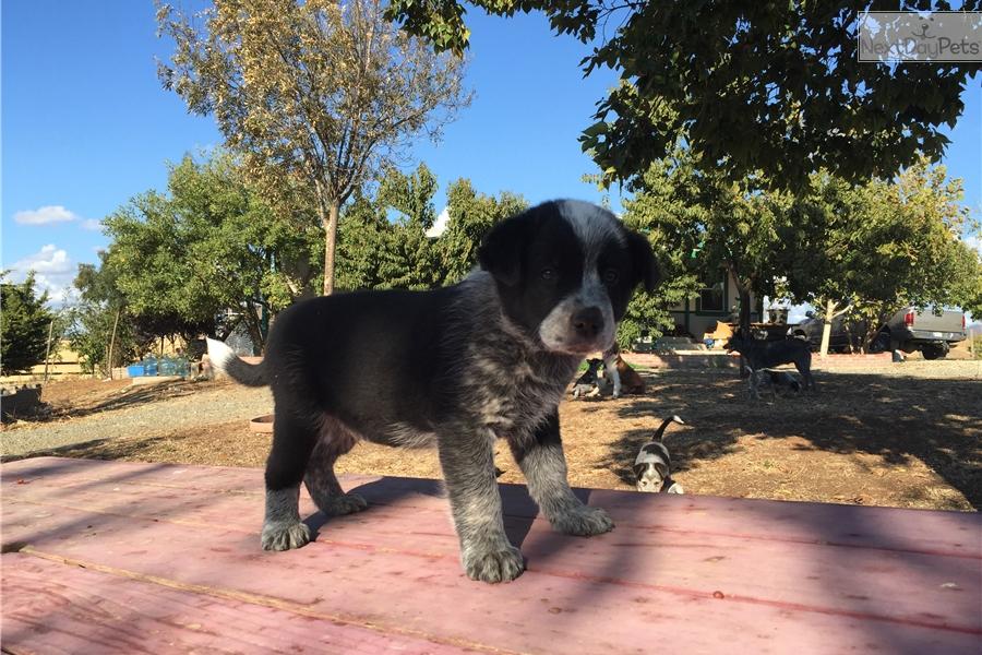 Queensland Heeler Dog Rescue California Image | Dog Breeds Picture