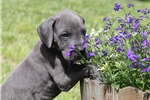 Picture of 100% European Great Dane Puppy