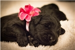 Giant Schnauzers for sale