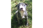 Picture of Blue AKC (English) Staffordshire Bull Terrier Girl