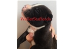 Picture of AKC (English) Staffordshire Bull Terrier Puppies
