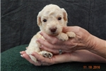 Picture of Julia's #1 Goldendoodle Girl