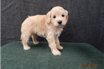 Picture of Melody's #1 Mini Goldendoodle