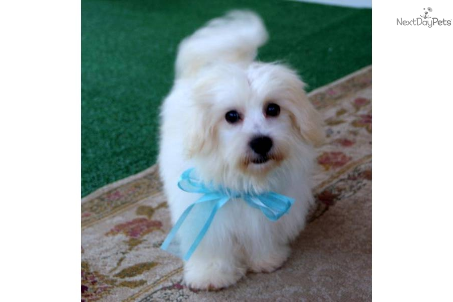 cute Maltese puppy for sale for $650. MALE MALTESE/LHASA APSO CROSS ...