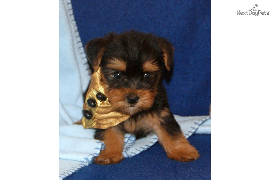 Male Yorkie. Shipping Included in Price. | Black Male Yorkshire ...