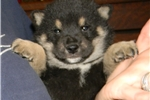 Picture of LITTLE CHARMER - OZZIE - Male Shiba Inu