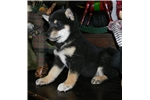 Picture of SUCH A CUTIE - TILLY - Female Shiba Inu