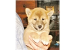 SOOO SWEET - TILLIE - Female Shiba Inu | Puppy at 9 weeks of age for sale