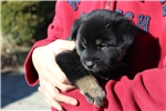 Picture of Rare Black/Tan Jindo Puppy