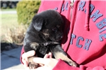 Rare Black/Tan Jindo Puppy | Puppy at 38 weeks of age for sale