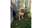 Picture of AKC English Mastiff Fawn Male Puppy