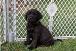 Picture of AKC English Mastiff Fawn Female Puppy