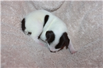 Picture of German Shorthair, AKC, Female - Snow White