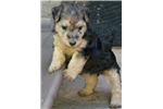 Lakeland Terriers for sale