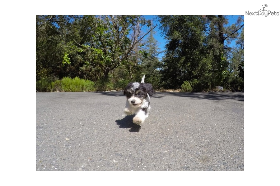 Cavachon puppy for sale near San Francisco Bay Area, California ...