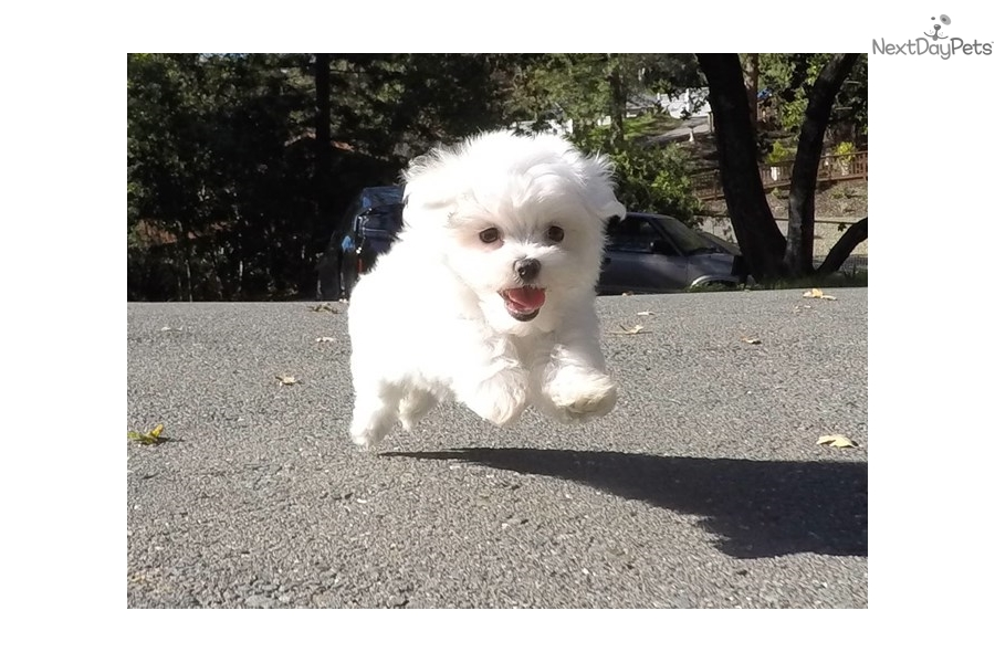 Maltese Dogs For Sale In Bay Area