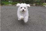 Picture of Precious Male ACA Bichon Frise Pup For Sale