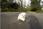 Picture of Precious Male ACA Bichon Frise Pup For Adoption