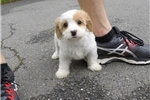 Cavachons for sale