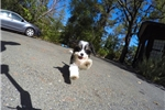 Picture of Super Small Female CavaChon Designer Pup For Sale