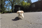 Picture of Stunning Female CavaChon Pup For Adoption