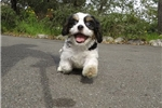 Adorable Female CavaChon Designer Puppy! | Puppy at 11 weeks of age for sale