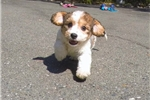 Picture of Gorgeous Female CavaChon Puppy For Adoption