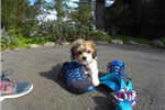 Picture of Male CavaChon Pup For Adoption
