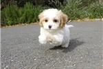 Precious Female CavaChon Designer Puppy For Sale | Puppy at 10 weeks of age for sale