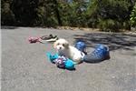 Picture of Super Cute Male CavaChon Designer Pup!