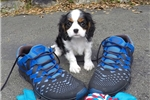 Picture of Super Cute Male Cavalier King Charles Spaniel Pup