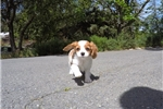 Picture of ACA Male Cavalier King Charles Spaniel Puppy!