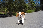 Picture of Male AKC Cavalier king Charles Spaniel Puppy!