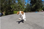 Picture of Male ACA Cavalier King Charles Spaniel Pup