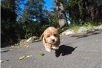 Picture of Designer Male Cavapoo Puppy For Adoption!