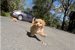 Picture of Gorgeous Female CavaPoo Designer Pup For Sale