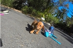 Picture of Gorgeous Female ACA Dachshund Pup For Adoption