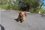 Picture of Precious Female ACA Dachshund Pup For Sale