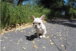 Picture of Precious Female AKC French Bulldog Pup For Sale