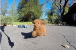 Picture of PERFECT Male Mini Goldendoodle Pup For Adoption