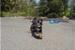 Picture of Beautiful Female Havanese Puppy!