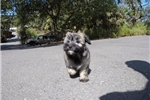 Picture of Super Cute Male AKC Havanese Puppy!
