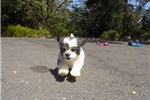 Picture of Male Malshi Designer Pup For Adoption