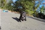 Picture of Female Teddy Bear Puppy (Maltese x Shih-Tzu)